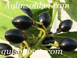 Defne Meyvesi Tohumu Faydaları Nelerdir: